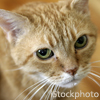 Old orange tabby (credit: iStockphoto)